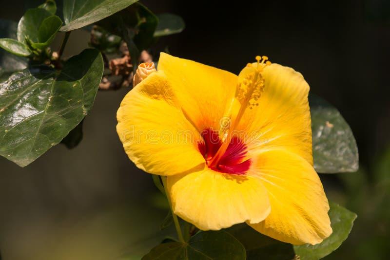 Gele Hibiscusbloem op zwarte dardachtergrond royalty-vrije stock afbeelding