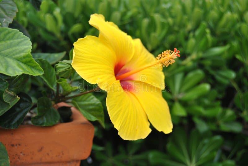 Gele hibiscusbloemen stock afbeeldingen