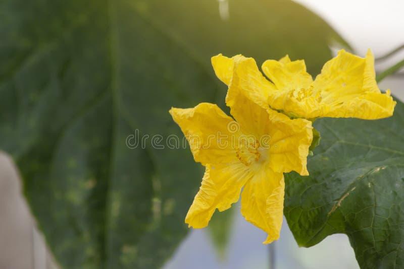 Gele Hoekige luffabloem met zonlicht op aardachtergrond royalty-vrije stock afbeelding