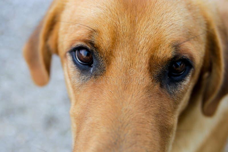 Gele hond en ogen stock foto