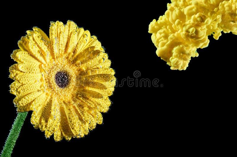 Gele Inktplons op gele bloem Inkt in water met bloem Ge?soleerde op zwarte achtergrond stock foto's
