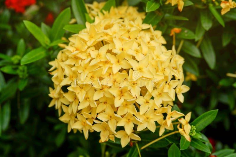 Gele ixorabloemen op Natuurlijke groene tuin stock foto