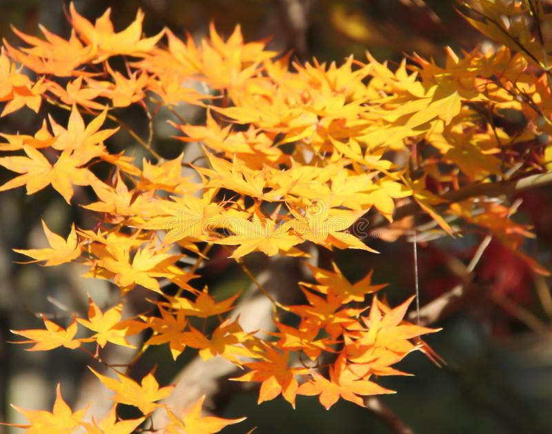 Gele Japanse esdoornbladeren stock foto's
