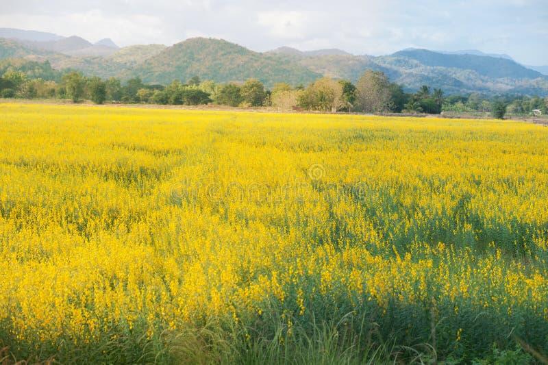 Gele juncea van Crotalaria van het bloemgebied stock fotografie