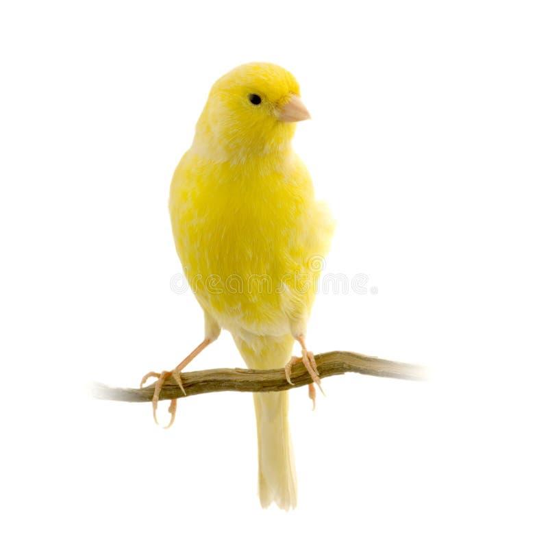 Gele kanarie op zijn toppositie stock foto