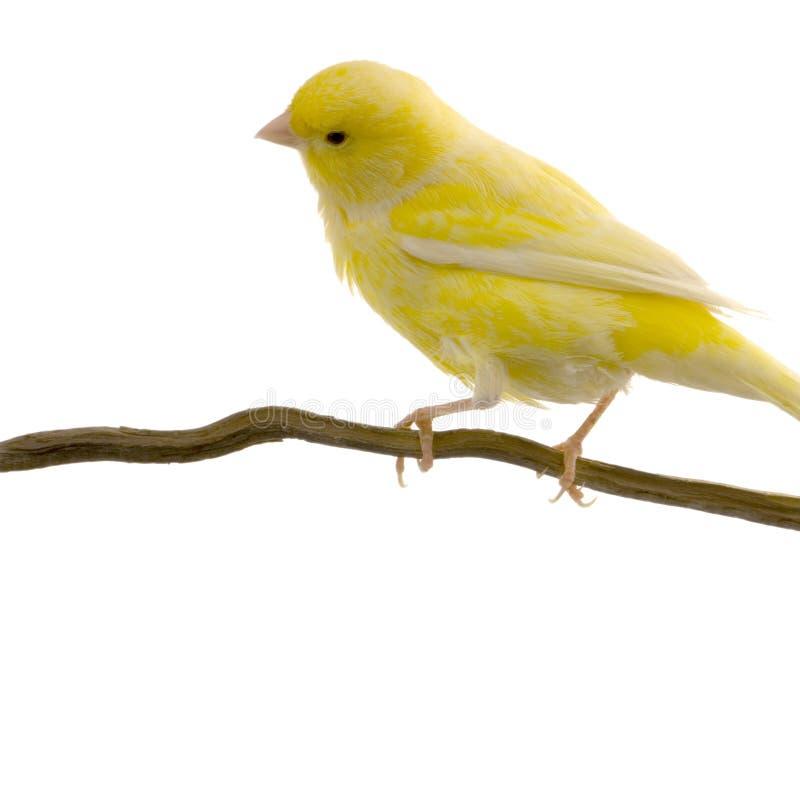 Gele kanarie op zijn toppositie stock foto's