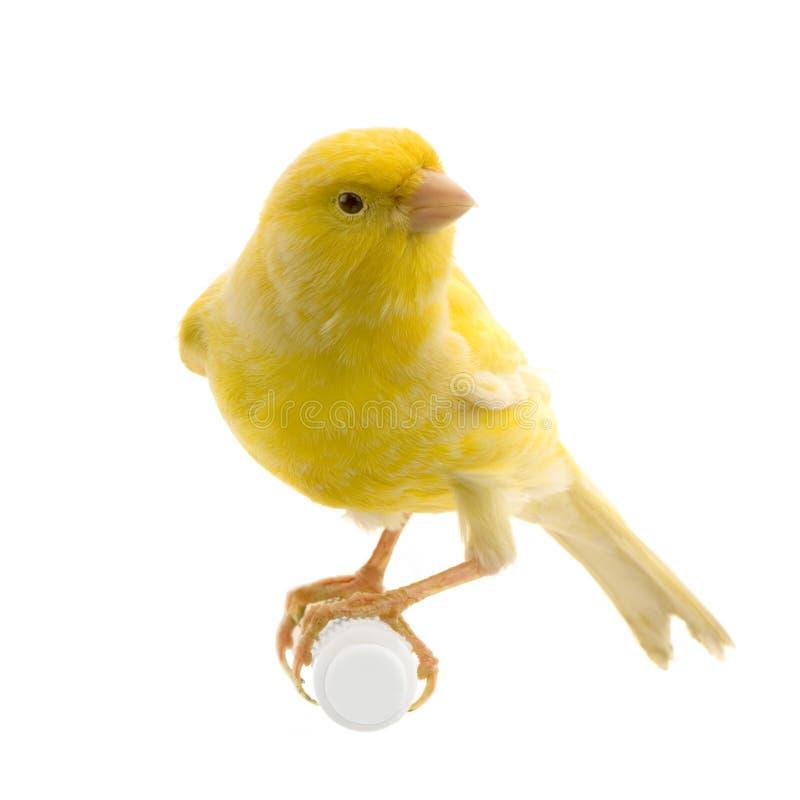 Gele kanarie op zijn toppositie stock afbeeldingen