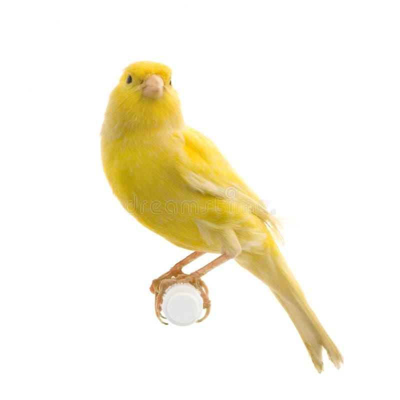 Gele kanarie op zijn toppositie royalty-vrije stock afbeelding