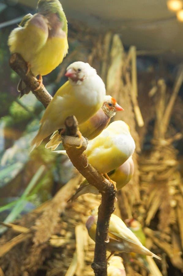 Gele kanarie - Serinus-canari royalty-vrije stock afbeeldingen