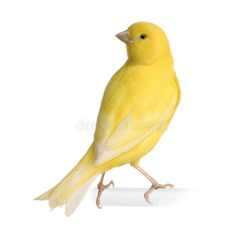 Gele kanarie - Serinus canaria op zijn toppositie royalty-vrije stock foto's