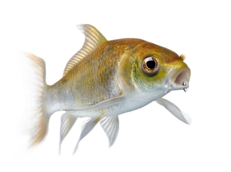 Gele karpervissen met mond het doordringen stock afbeelding
