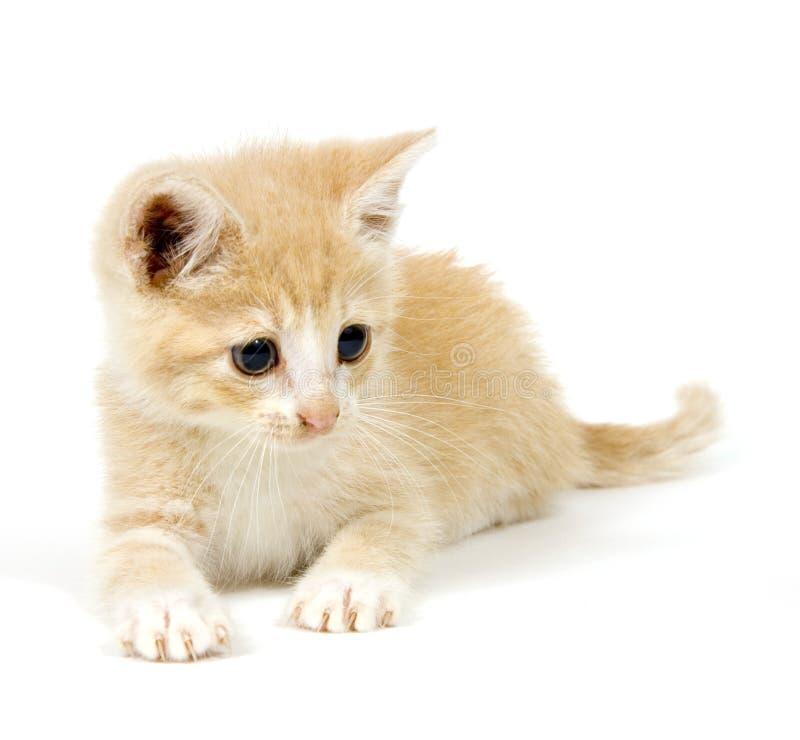 Gele kat die op witte achtergrond 2 rust stock foto