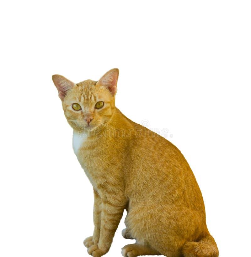 Gele kat op witte achtergrond stock fotografie