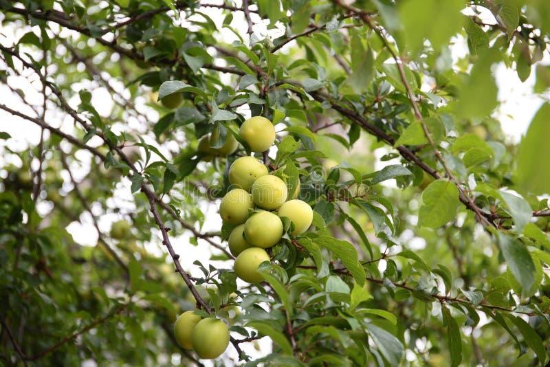 Gele kersenpruimen op de boom stock fotografie
