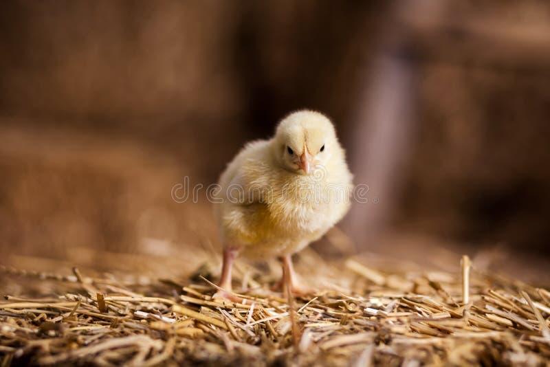 Gele kippen op een hooiberg, Kleine Gele Kippen, Weinig slee royalty-vrije stock fotografie