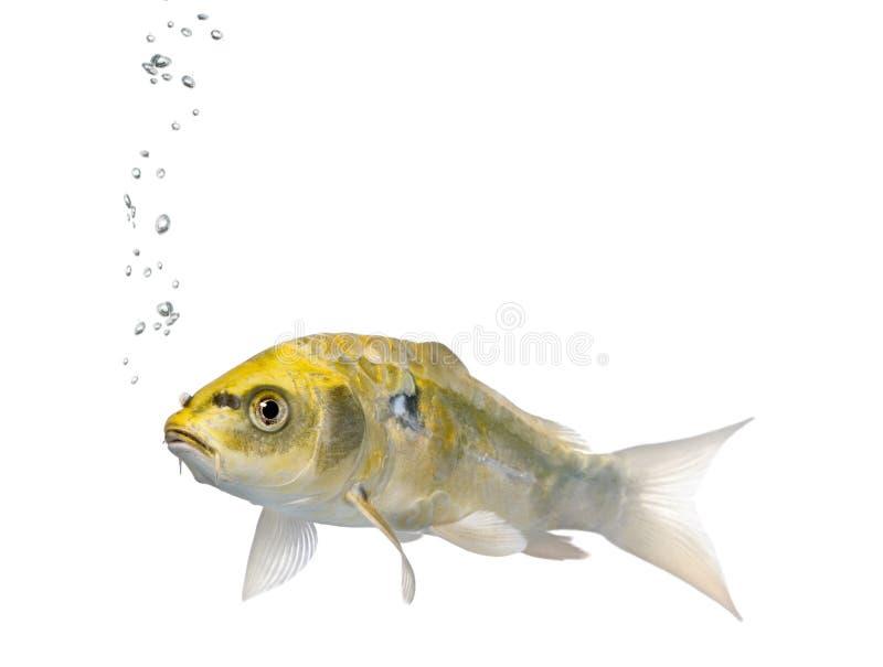 Gele Koi ogon vissen, Cyprinus Carpio, studioschot stock afbeelding