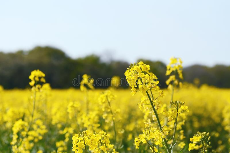 Gele koolzaadbloem tegen een landbouwbedrijfgebied stock foto