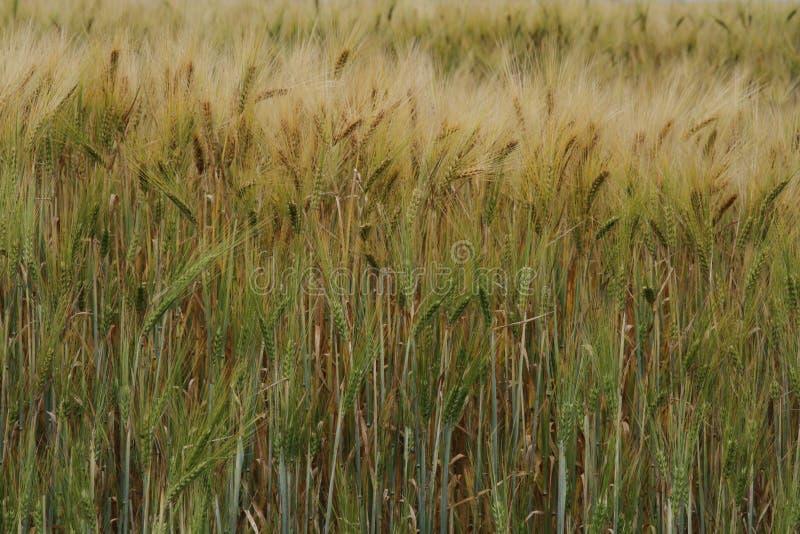 Gele korrel klaar voor oogst stock fotografie