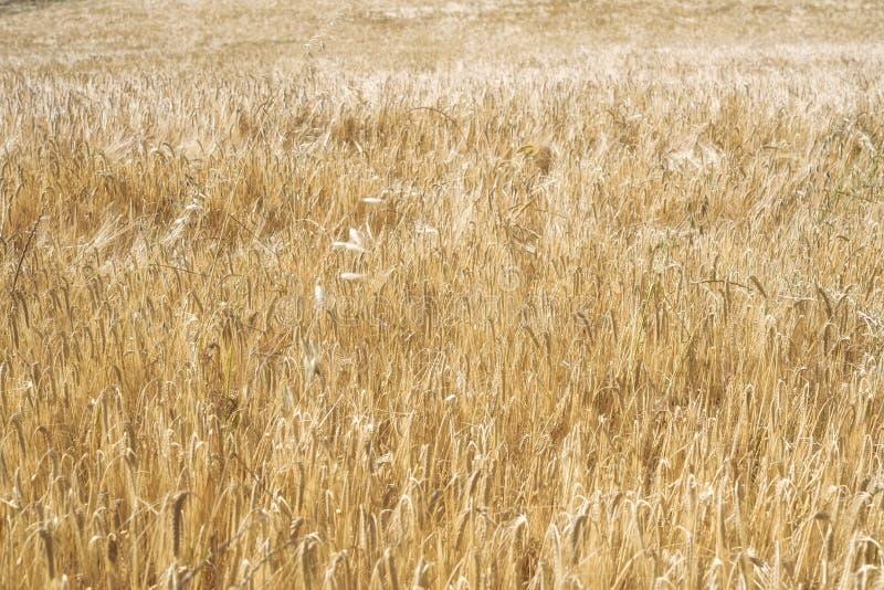 Gele korrel klaar voor oogst die I kweken royalty-vrije stock foto's