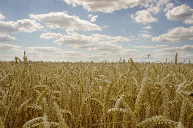 Gele korrel klaar voor oogst het groeien op een landbouwbedrijfgebied stock afbeeldingen