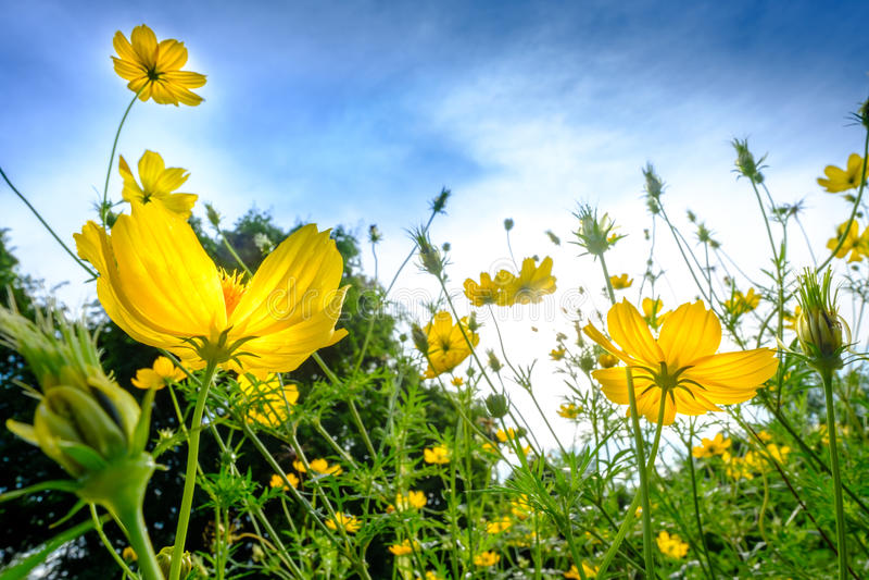 Gele kosmosbloemen op flawergebied en blauwe hemel in de ochtend stock fotografie