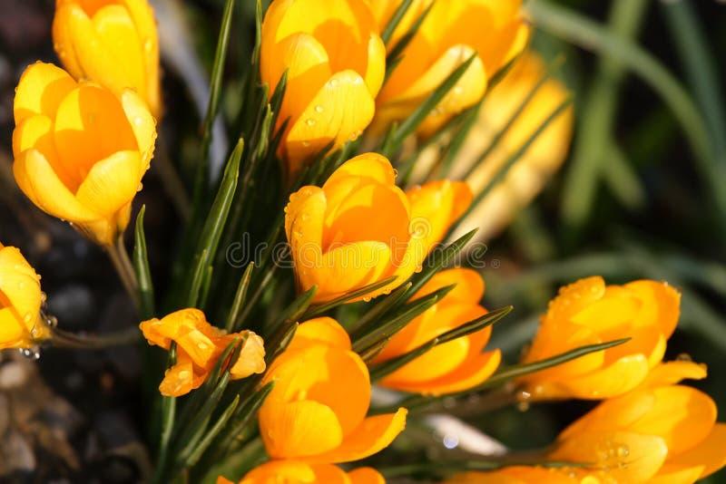 Gele krokussen stock fotografie