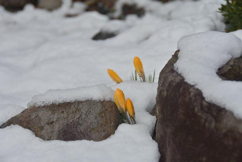 Gele krokussen onder de sneeuw stock afbeeldingen