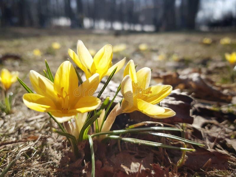 Gele krokussenbloesem De lentebloemen in het hout royalty-vrije stock foto