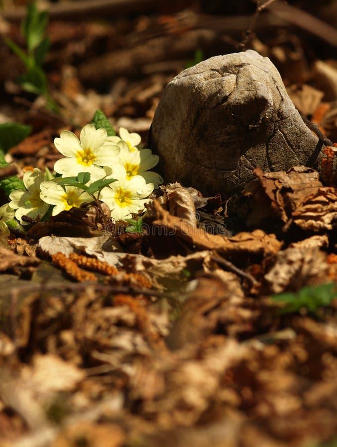 Gele kruidachtige eeuwigdurend van de bloemsleutelbloem van medische installatie in gras op weide dichtbij bos met groene bladere royalty-vrije stock foto's