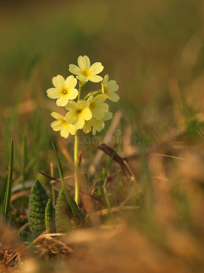 Gele kruidachtige eeuwigdurend van de bloemsleutelbloem van medische installatie in gras op weide dichtbij bos met groene bladere stock afbeelding