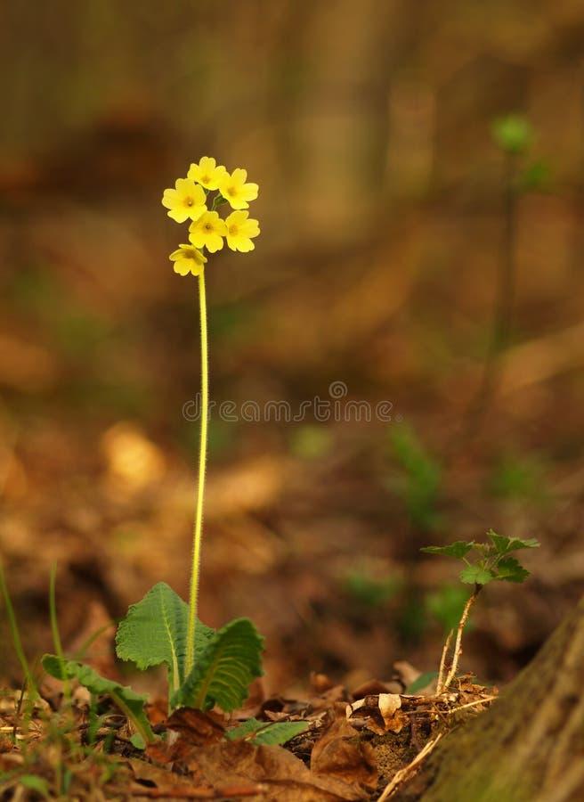 Gele kruidachtige eeuwigdurend van de bloemsleutelbloem van medische installatie in gras op weide dichtbij bos met groene bladere stock afbeeldingen