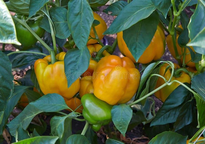 Gele kubieke peper stock foto