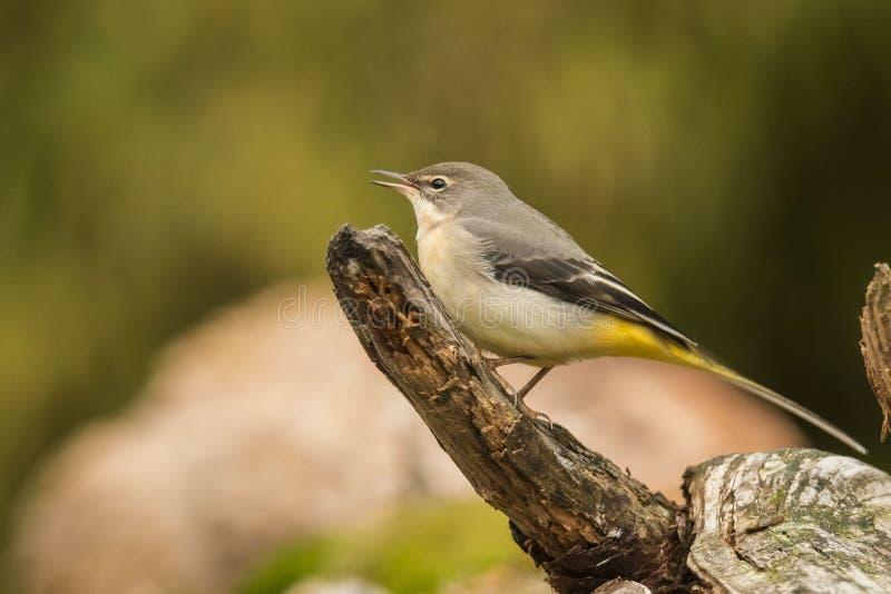 Gele Kwikstaart, flava Motacilla zangvogel royalty-vrije stock afbeeldingen