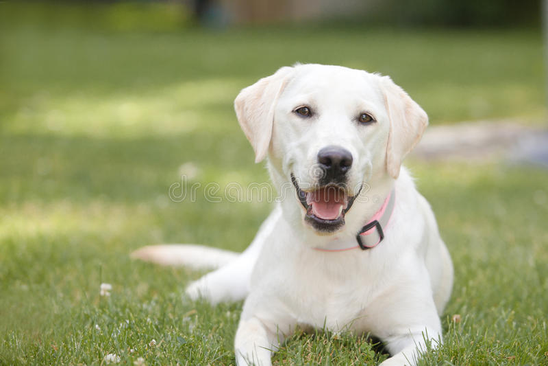 Gele Labrador die in gras leggen royalty-vrije stock foto's