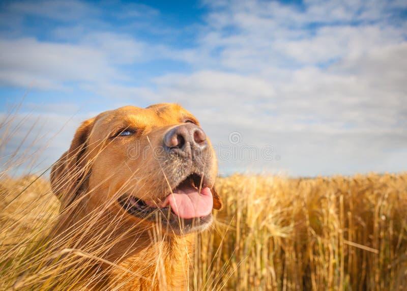Gele Labrador op het gebied royalty-vrije stock foto