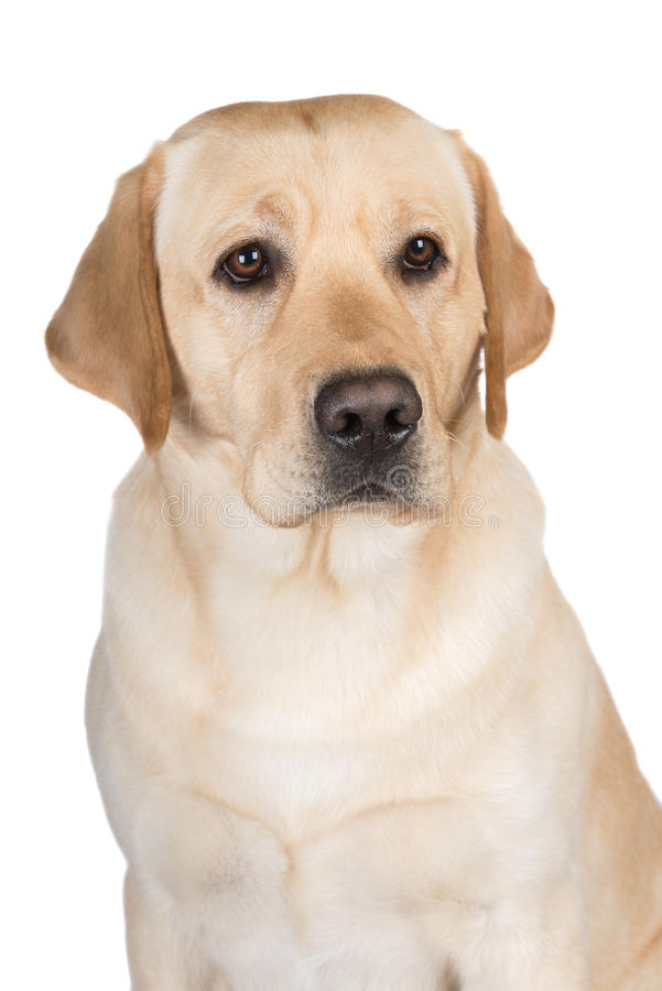 Gele labrador retriever-hond royalty-vrije stock foto's