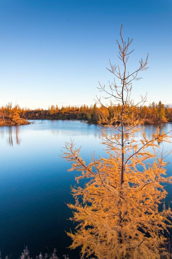 Gele lariks op een blauw meer in de toendra, de diepe herfst in het Taimyr-Schiereiland dichtbij Norilsk stock foto's