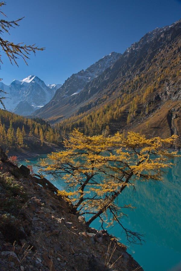 Gele lariks tegen de achtergrond van turkoois water van het meer en een berglandschap stock foto