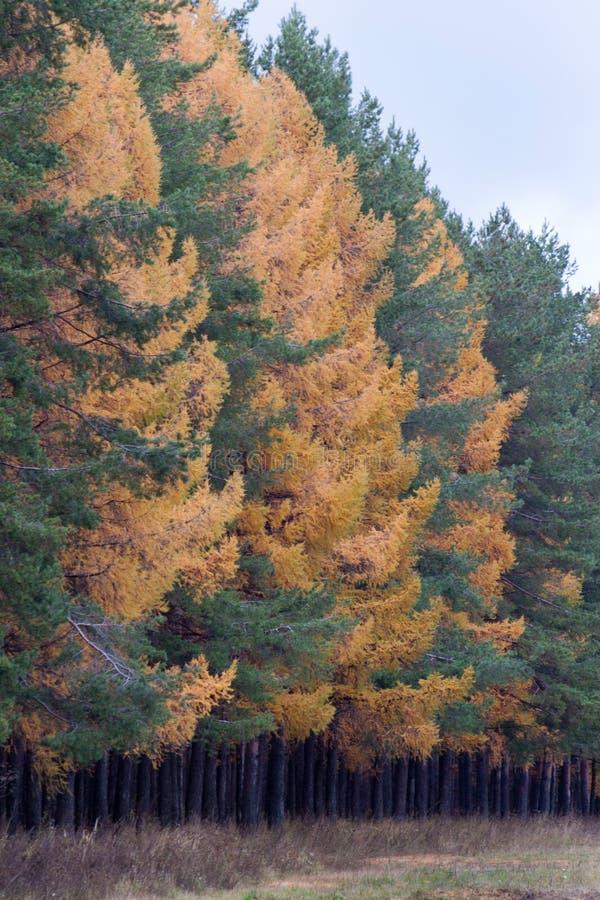 Gele lariksen en altijdgroene pijnboom in de de herfst bosseizoenen van het jaar royalty-vrije stock afbeelding