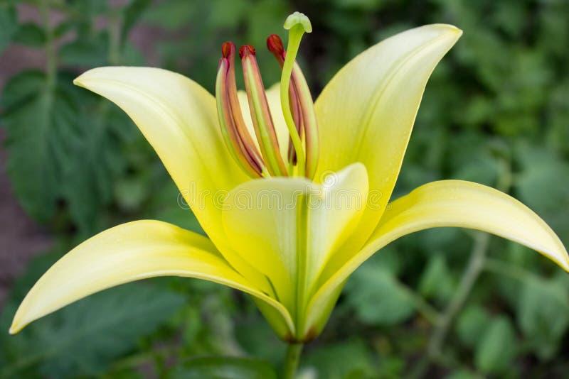 Gele lelie in de tuin royalty-vrije stock foto's