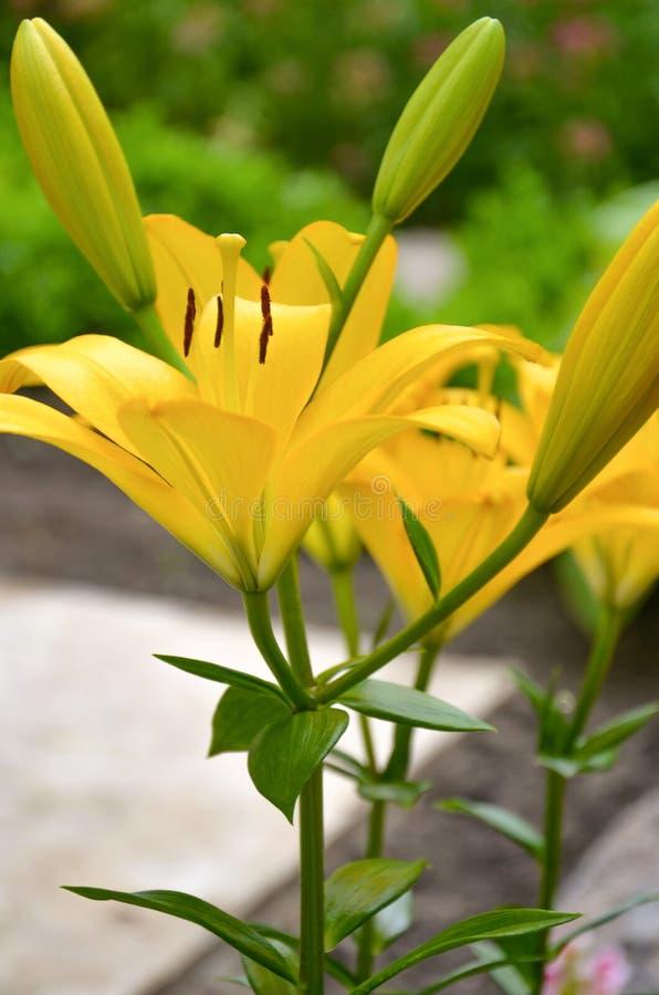 Gele lelie stock afbeeldingen