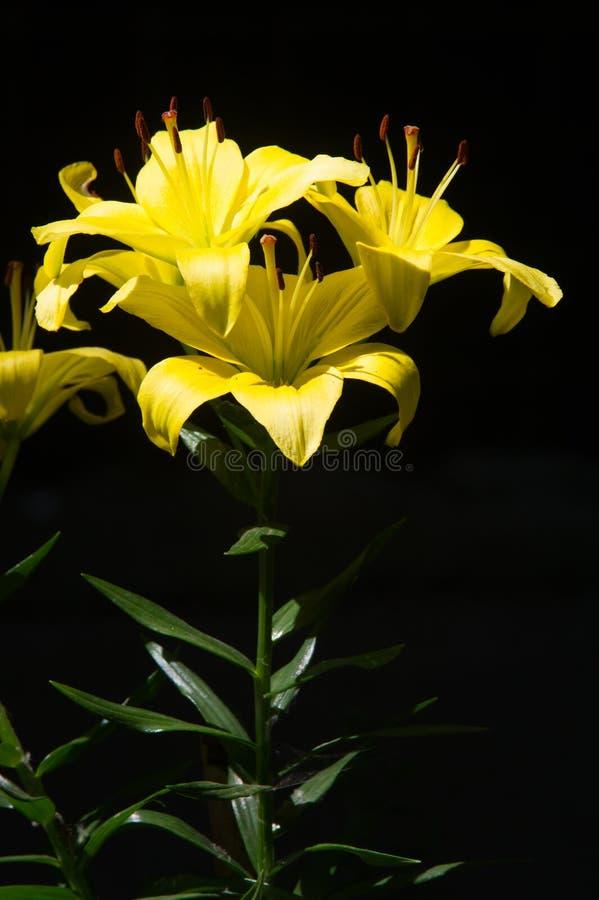 Gele lelie een heraldische fleur-DE-lis De lelies zijn lange perennials stock fotografie