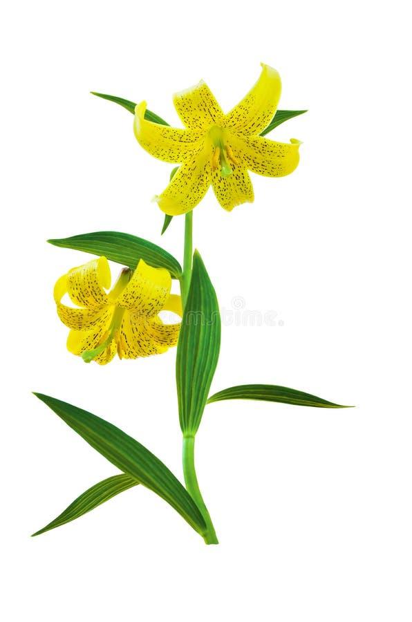 Gele Leliebloemen met groene die bladeren op witte achtergrond worden geïsoleerd Kaukasische caucasicum van berglily lilium, clos stock foto