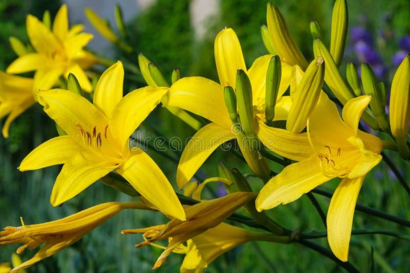 Gele lelies op bloembed stock fotografie