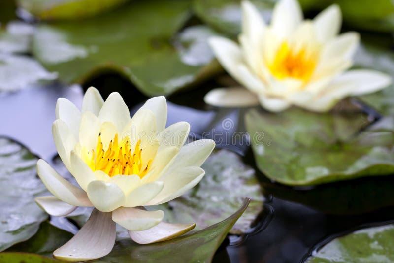 Gele lotusbloembloesem of waterleliebloem royalty-vrije stock foto's