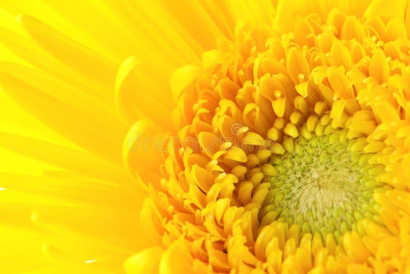 Gele madeliefje dichte omhooggaand stock foto's