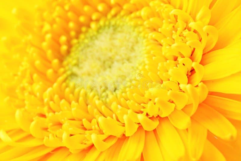 Gele madeliefje dichte omhooggaand royalty-vrije stock foto's
