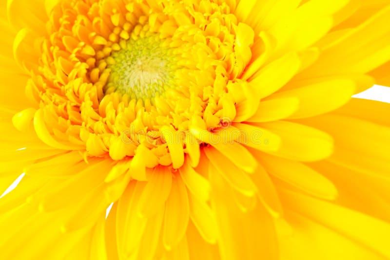 Gele madeliefje dichte omhooggaand stock afbeelding