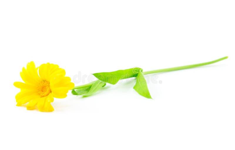Gele madeliefjebloem royalty-vrije stock afbeeldingen