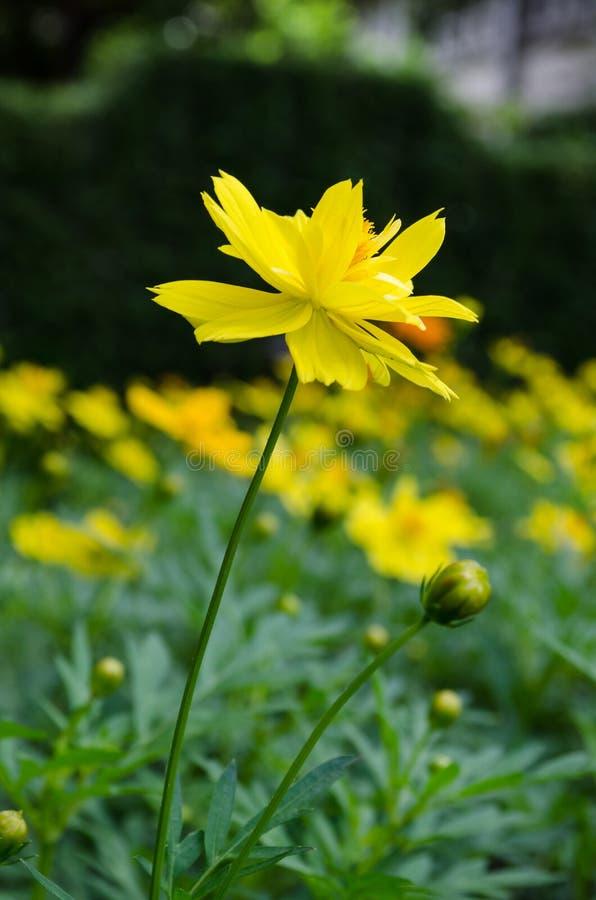 Gele madeliefjebloem royalty-vrije stock afbeelding